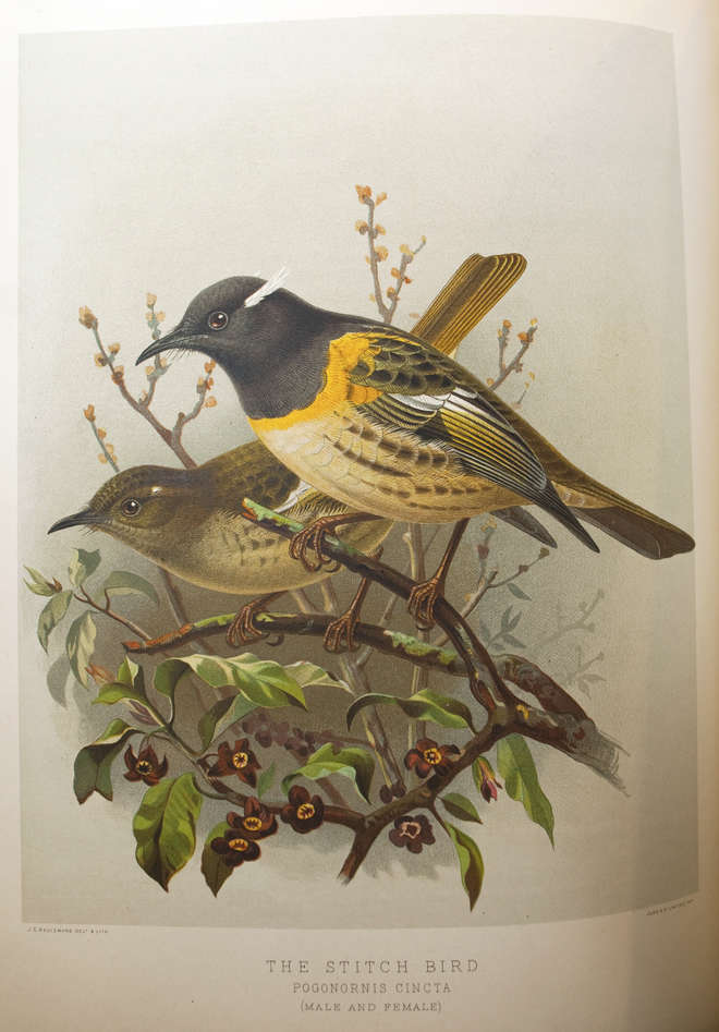 Colour illustration of a pair of black, white and yellow hihi or stitchbirds