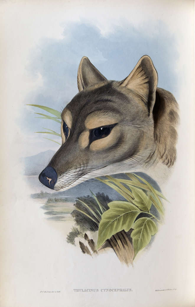 Close-up colour illustration of a wolf-like thylacine head