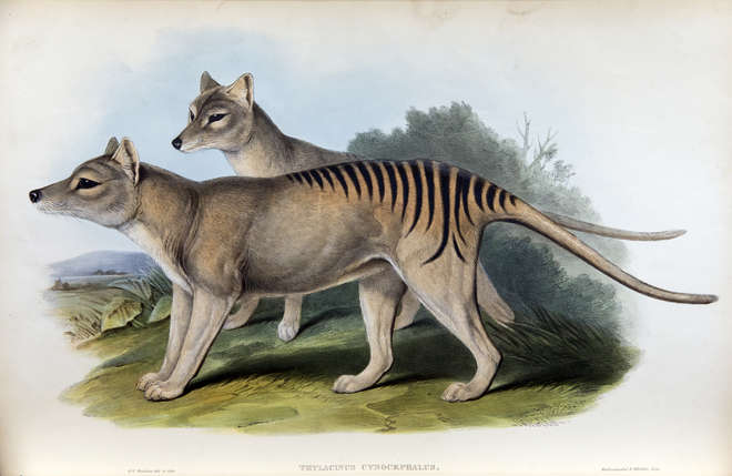 Side view of two thylacine, colour lithograph