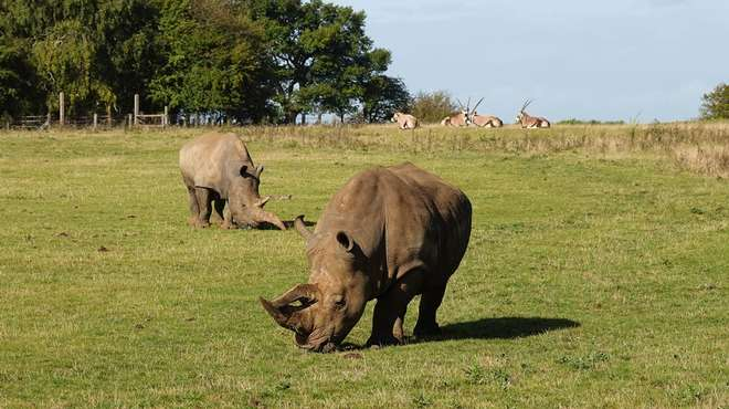 White rhinos Clara and Bertha with gemsbok at ZSL Whipsnade Zoo