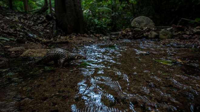 Photo - Baby Sunda pangolin crossing a shallow stream in a forested area