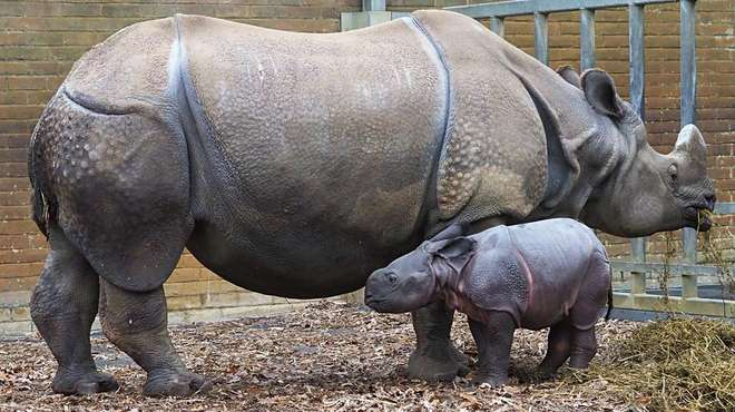 A baby rhino next to mum Behan at ZSL Whipsnade Zoo