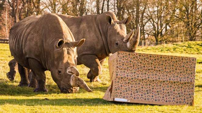 Our white rhinos explore a giant Christmas present at ZSL Whipsnade Zoo