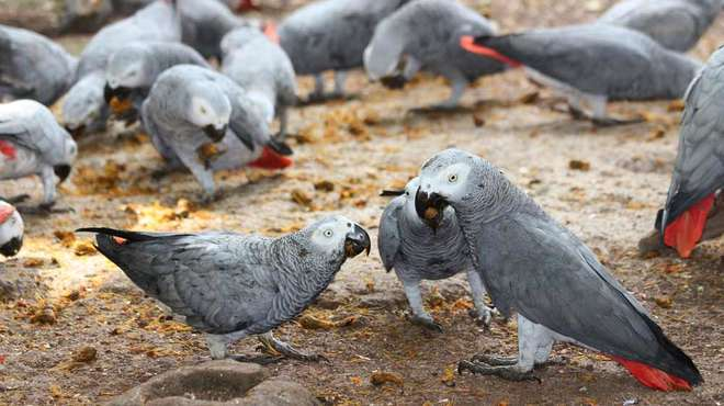 Photo - Several African grey parrots feeding on seeds scattered on the ground