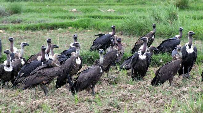 Photo - A large group of white-rumped vultures sat on the ground in the wild