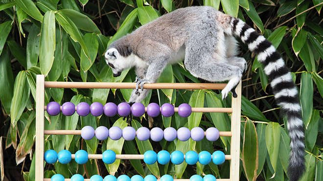 A lemur takes part in the annual stocktake at ZSL Whipsnade Zoo