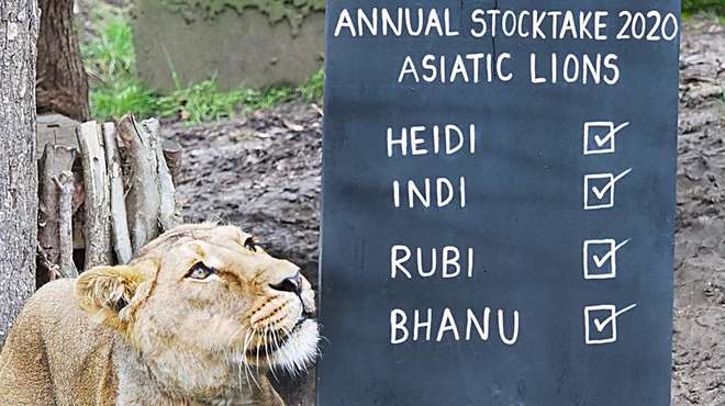 A lioness takes part in the annual stocktake at ZSL London Zoo