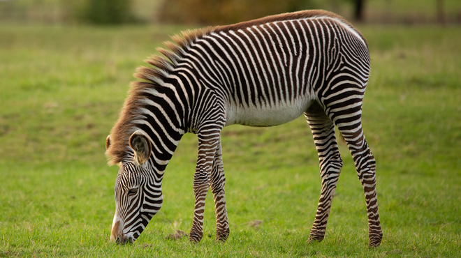 A zebra at ZSL Whipsnade Zoo