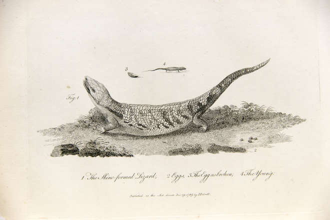 Uncoloured engraving of lizard, eggs and young
