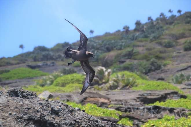photo - a Petrel in flight with a small GLS (global location sensor) attached to one leg.