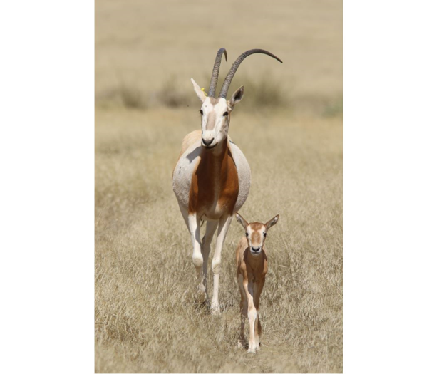 Female oryx with her calf