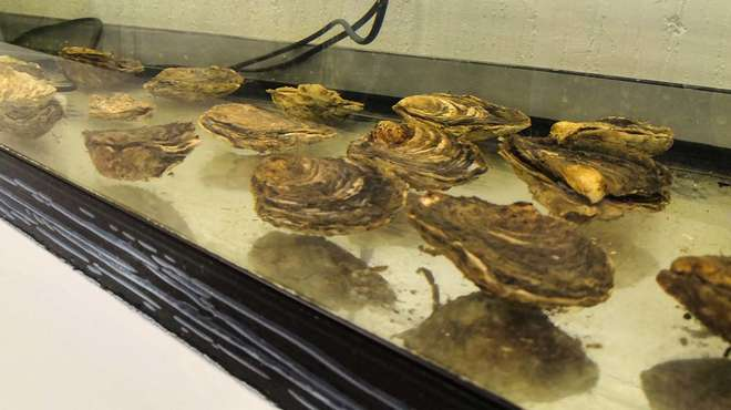 Photo - A collection of native oysters in a tank in a lab