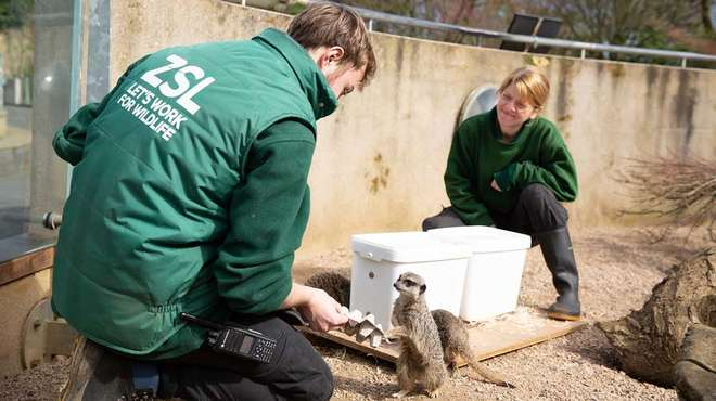 Keepers feeding the meerkats at ZSL London Zoo