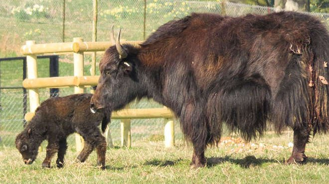Our adorable baby yak calf explores the paddock with mum Hermione