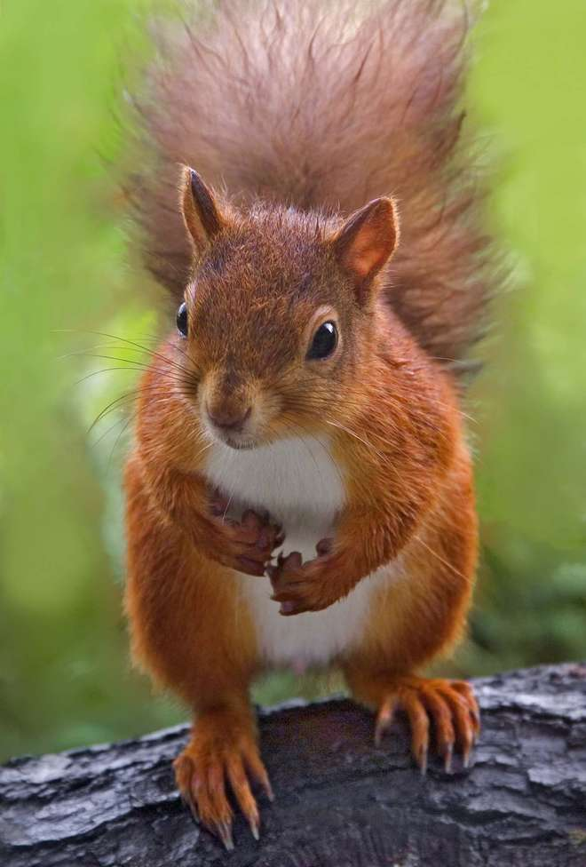 Photo - a red squirrel