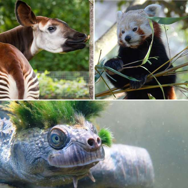 Okapi, Mary River Turtle & Red Panda