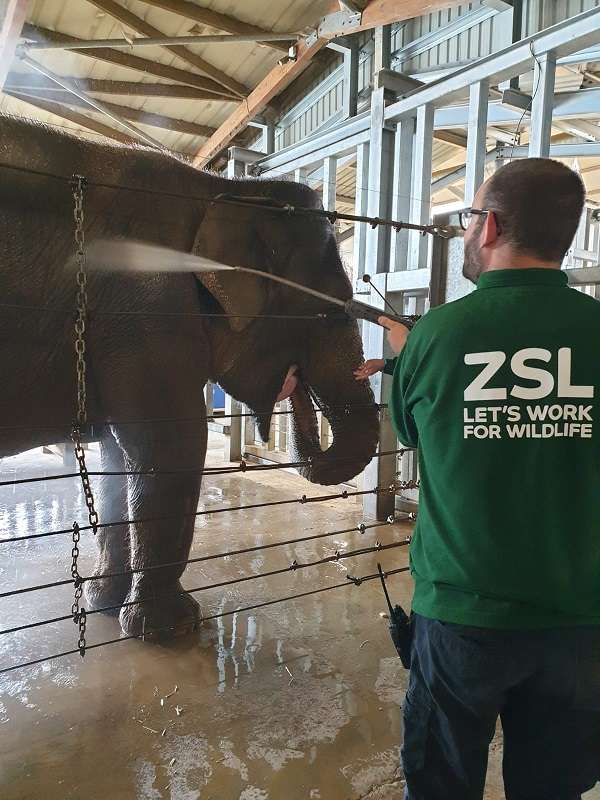 Volunteer Miles is spraying an elephant with a water hose inside one of our elephant houses.