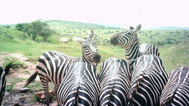 multiple zebras at a watering hole