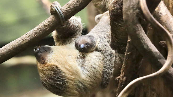 Truffle the baby sloth with mum Marilyn at ZSL London Zoo