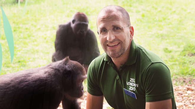 Zookeeper smiles, with two gorillas