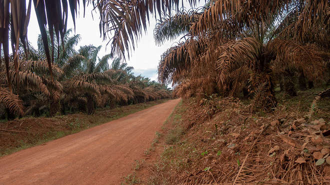 Road through oil palm plantation in Cameroon