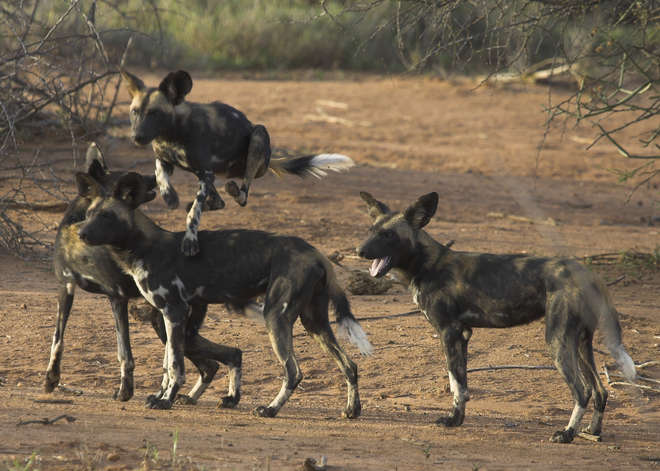 African Wild Dogs in Kenya