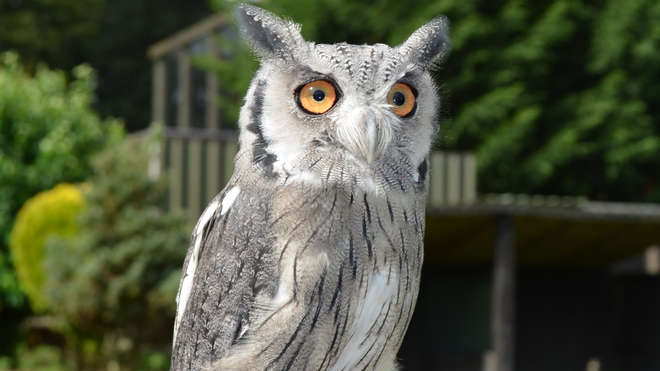 White faced owl at ZSL Whipsnade Zoo
